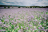 Borage (Borago officinalis) grown as agricultural crop. Chilterns , Buckinghamshire, UK