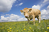 Young beef cattle. Tring. Herts. England. UK.