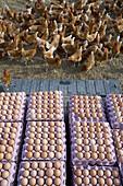 Free range organic. Chickens Egg.