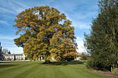 Queen Victoria's oak in the garden at Ashridge. Herts, UK