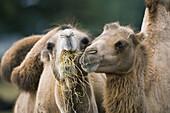 Bactrian camel (Camelus bactrianus), Whipsnade Wild Animal Park. Bedfordshire, UK
