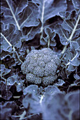 Food Broccoli