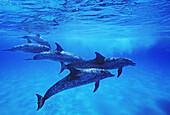 Atlantic Spotted Dolphin, (Stenella frontalis) underwater, Grand Bahama Banks, Bahamas