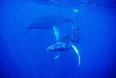 Humpback Whales (Megaptera novaeangliae) Underwater, Silver Bank, Caribbean, Dominican Republic