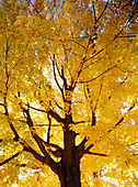 Autumn, Autumnal, Branch, Branches, Color, Colour, Concept, Concepts, Daytime, Exterior, Fall, Low angle view, Nature, Orange, Outdoor, Outdoors, Outside, Season, Seasons, Tree, Trees, Trunk, Trunks, Vertical, View from below, C77-248494, agefotostock