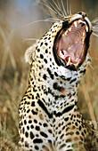 Leopard (Panthera pardus). Masai Mara Natural Reserve. Kenya