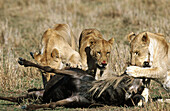 Lions (Panthera leo) eating a killed wildebeest. Masai Mara Wildlife Preserve, Kenya