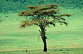 Fever Tree (Acacia xanthophloea). Ngorongoro Crater. Tanzania