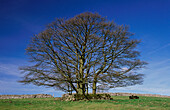 Sycamores (Acer pseudoplatanus). Peak District National Park. Derbyshire. England