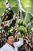 Man with harvest of organic bananas. Quintana Roo. Mexico.
