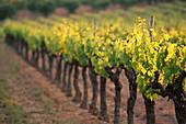 Vineyard details. Gordes. Provence. France