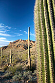 View on the Tucson mountains in late afternoon light with Saguaro cactus. Tucson. Arizona, USA