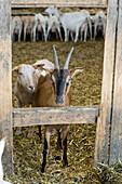 Goat herd on a farm, Kevelaer, North Rhine-Westphalia, Germany