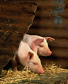 Agriculture, Animal, Animals, Baby animal, Baby animals, Color, Colour, Curiosity, Curious, Farm, Farm animals, Farming, Farms, Head, Heads, Indoor, Indoors, Interior, Livestock, Mammal, Mammals, Pair, Pig, Piglet, Piglets, Pigs, Rural, Stockbreeding, Sw