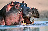 Hippopotamus. Serengeti NP. Tanzania