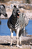 Plains Zebras (Equus burchelli). Etosha. Namibia