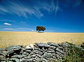 Olive Tree. Near Setenil. Cádiz province. Spain