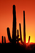 Cactus. Saguaro National Park. Arizona. USA
