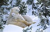 Polar Bears (Ursus maritimus). Canada