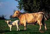 Außen, Farbe, Großvieh, Herbivore, Herbivores, Horizontal, Jungtier, Jungtiere, Kalb, Kälber, Kuh, Kühe, Land, Ländlich, Mutter, Mütter, Natur, Pflanzenfressend, Rinder, Säugetier, Säugetiere, Tageszeit, Tier, Tiere, Unbeweglich, Vieh, Viehzucht, Wirtsch