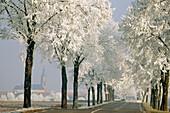 Poplars. Alsace. France