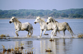 Animal, Animals, Camargue, Color, Colour, Daytime, Europe, Exterior, Farm animals, Farming, France, Horizontal, Horse, Horses, Livestock, Mammal, Mammals, Nature, Outdoor, Outdoors, Outside, River, Rivers, Three, Three animals, Trot, Trotting, Water, D88