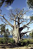 Baobab, Upside-down Tree. Adansonia digitata. Mayotte. Indian Ocean.