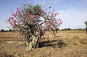 Desert Rose (Adenium obesum) Apocynaceae. Omo valley. Ethiopia.