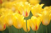 Aussen, Außen, Blume, Blumen, Botanik, Detail, Details, Empfindlich, Farbe, Gelb, Hintergrund, Hintergründe, Horizontal, Natur, Pflanze, Pflanzen, Tageszeit, Tulipa, Tulpe, Tulpen, D70-283688, agefotostock