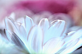 Abstract, Background, Backgrounds, Botany, Close up, Close-up, Closeup, Color, Colour, Delicate, Detail, Details, Flower, Flowers, Horizontal, Horticulture, Natural background, Natural backgrounds, Nature, Petal, Petals, Plant, Plants, Soft focus, White,