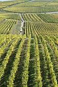 Germany, Hesse, Rheingau region, Rüdesheim am Rhein, vineyards