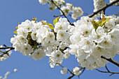 Germany, Brandenburg, Werder/Havel, Cherry Blossom.