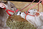 two calves, gray-brown and white, with red halters, nose to nose in straw in barn at Monroe County Fair, Bloomington, Indiana, USA