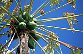 Branch, Branches, Color, Colour, Concept, Concepts, Daytime, Detail, Details, Exterior, Food, Fruit, Fruits, Green, Healthy, Healthy food, Horizontal, Leaf, Leaves, Natural, Nature, Outdoor, Outdoors, Outside, Papaya, Plantation, Plantations, Tree, Trees