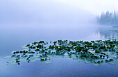 Aquatic plant, Aquatic plants, Botany, Calm, Calmness, Color, Colour, Daytime, Exterior, Float, Floating, Fog, Horizontal, Lake, Lakes, Leaf, Leaves, Mist, Nature, Nobody, Outdoor, Outdoors, Outside, Peaceful, Peacefulness, Plant, Plants, Quiet, Quietnes