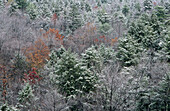 Snow on pine trees on a mountainside