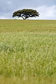 Holm Oak or Evergreen Oak (Quercus rotundifolia) in field. Fuente de Piedra. Málaga province, Spain
