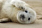 Grey Seal (Halichoerus grypus), pup lying on beach. U.K.
