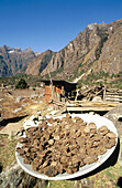 Sun drying yak dung for fuel, an alternative use for a satellite dish. Ghunza village. East Nepal