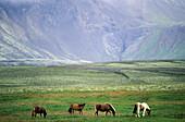 Icelandic horses. Iceland