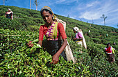 Tea harvest. Nuwara Eliya. Sri Lanka