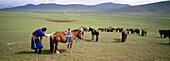 Horses preparation for the Naadam race. Arkhangai province. Mongolia