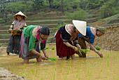 Vietnam. North Vietnam. Bac Ha area. Work on the rice field. Flower Hmong ethnic group.