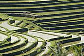 Indonesia. Bali. Rice field. Centre island.