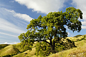 Oak trees and rolling hills in spring, Mount Diablo State Park, California