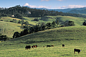 Herd of cows cattle in morning below rolling green grass field and hills of the Central Coast in spring, Cambria, California