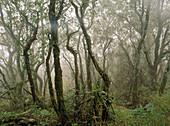 Holm Oaks trees. Urdaibai Biosphere Reserve. Biscay province, Euskadi. Spain