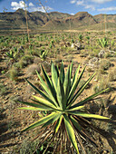 Century Plant (Agave americana). Reserva de la Biosfera Cabo de Gata-Níjar. Almería province, Spain