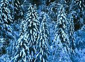 Silver firs (Abies alba)