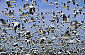 Animal, Animals, Bird, Birds, Color, Colour, Crowd, Crowded, Crowds, Daytime, Flight, Flights, Fly, Flying, Group, Groups, Horizontal, Many, Mass, Migration, Migrations, Motion, Movement, Moving, Noise, Skies, Sky, F52-373372, agefotostock